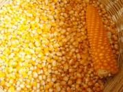 Кукуруза продовольственная/ фуражная